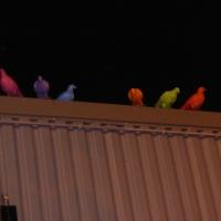 Colour me pigeon